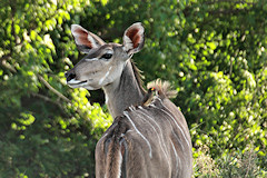 Female Greater Kudu - Tragelaphus strepsiceros, with a Yellow-billed Oxpecker on its back