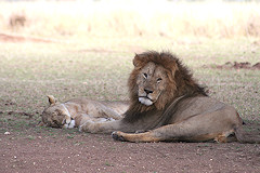 Male Lion and Lioness - Panthera leo