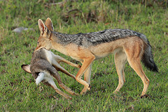 Scrub Hare caught by a Black-backed Jackal and showing its white underparts and long legs