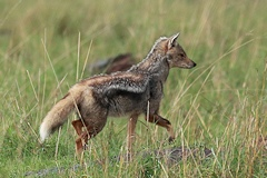 Black-backed Jackal - Canis adustus