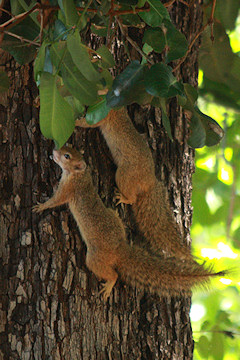 Tree Squirrels - Paraxerus cepapi
