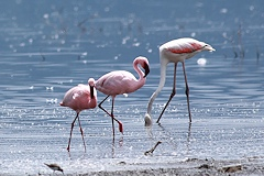 Comparison of Greater and Lesser Flamingos, Greater Flamingo on the right - Phoenicopterus roseus