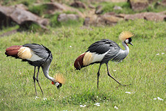 Grey Crowned Crane - Balearica regulorum