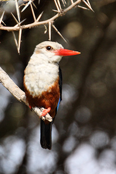 Grey-headed Kingfisher - Halcyon leucocephala, front view