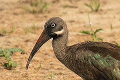 Hadada Ibis Close-up - Bostrychia hagedash