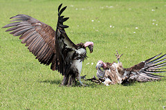 Lappet-faced Vultures - Torgos tracheliotos, fighting over food