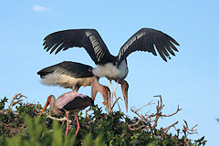 Marabou Storks - Leptoptilos crumeniferus, at their nest