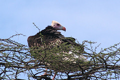 White-headed Vulture - Trigonoceps occipitalis