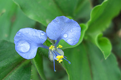 Dayflower - Commelina sp.