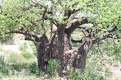 African Baobab with leaves - Adansonia digitata