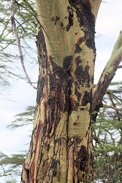 Trunk of Yellow-barked Acacia - Fever Tree - Acacia xanthophloea